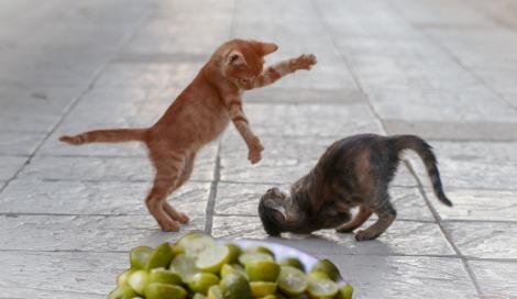 Lemoncats